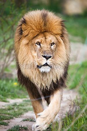 macestic leone a piedi