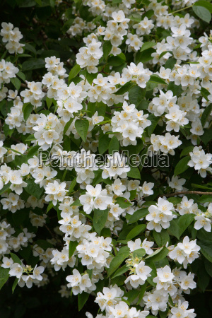 fiore fiori primavera arbusto petali fascio
