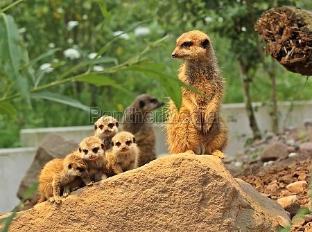 vigile attento quattro animale giovane carino