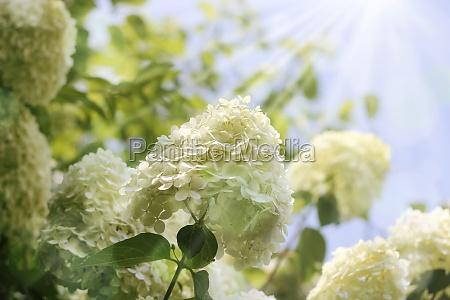 snowball garden flowers with light