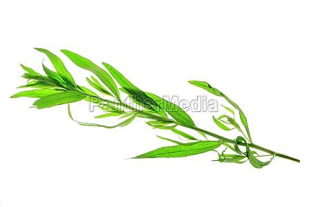 rilasciato opzionale verde ramo dragoncello erbe
