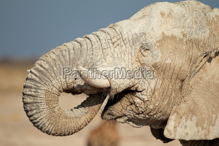 mammifero africa elefante namibia ritratto natura