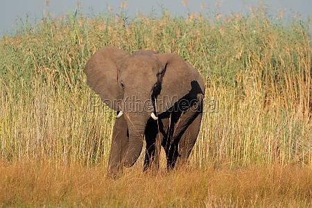 mammifero africa elefante namibia natura