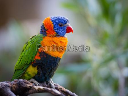 pappagallo luminoso rainbow lorikeet