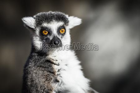 ring tailed lemuri del madagascar