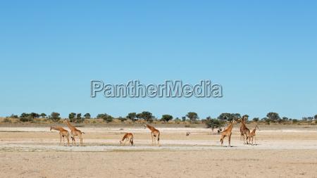 deserto africa natura safari giraffa paesaggio