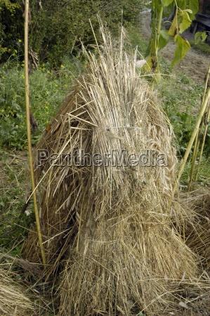 cibo agricoltura grano campo di grano