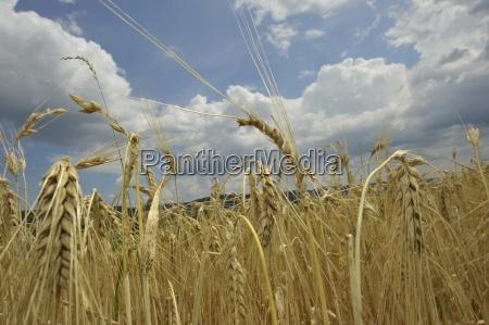 aehregranocampo di granocerealiciboalimentiackerkulturenallevamentoproduzione agricolaal fine terreniagricolieconomia