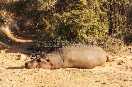 mammifero africa natura safari ippopotamo
