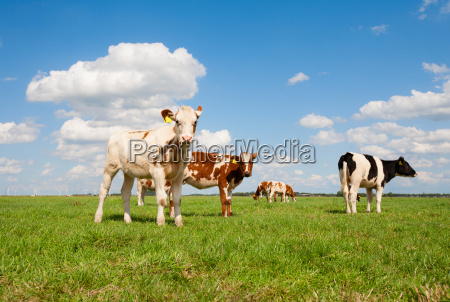 dutch calves