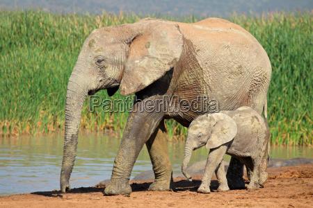 elefante africano con vitello