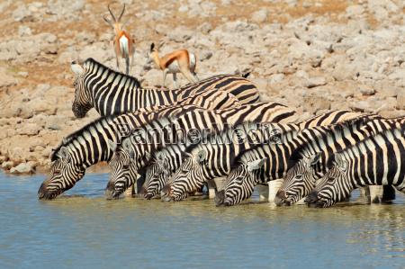 plains zebre acqua potabile