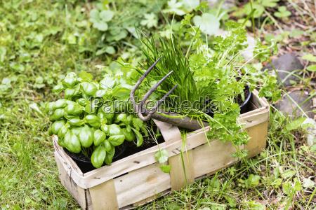 cestino basilico coriandolo erba cipollina erbe