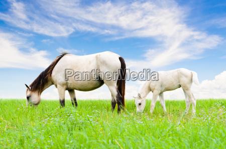 cavallo cavalla puledro pascolo mandria pascolare