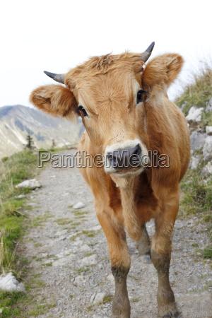 agricoltura mucca bestiame bovino mucche vitello