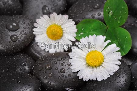 daisy su pietre bagnate