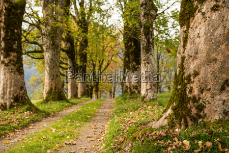 via con alberi dacero in autunno
