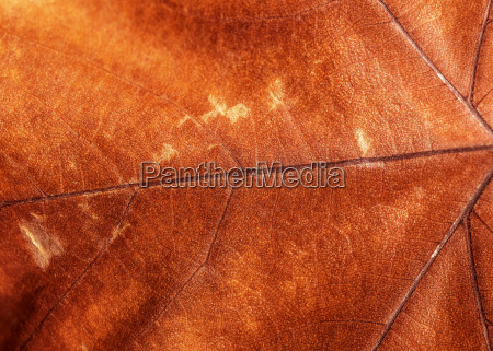 brown background foglia secca