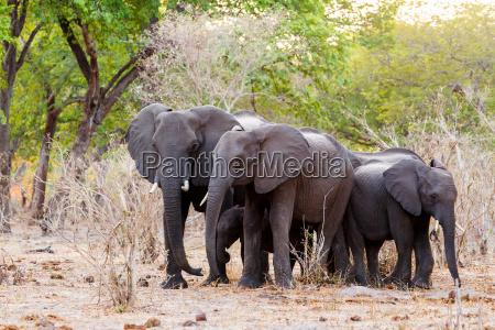 un branco di elefanti africani che