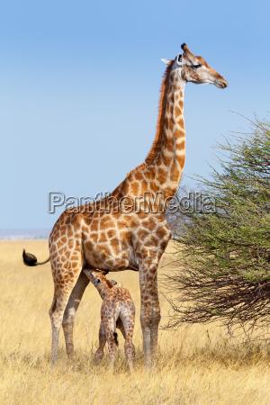 giraffa femminile adulta con latte materno