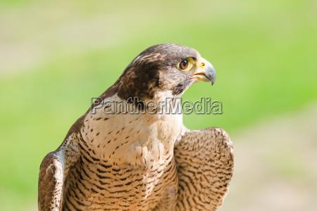 profilo primo piano uccello selvaggio cacciatore