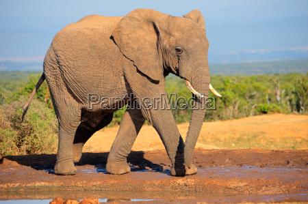 mammifero africa elefante natura