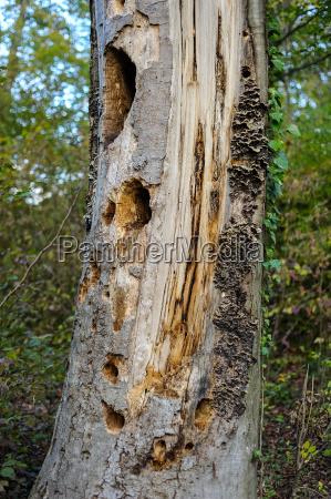 morscher tronco dalbero con i fori