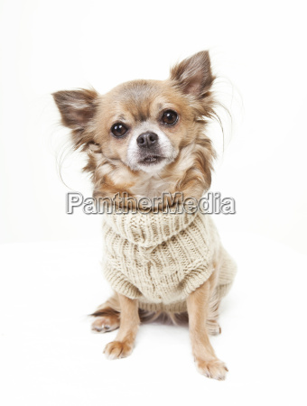 chihuahua con maglione di lana
