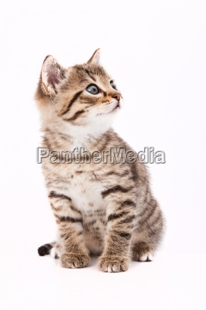 piccolo gatto grigio isolato sul bianco