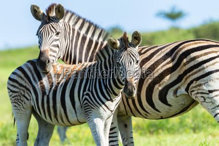 fauna selvatica del vitello zebrato