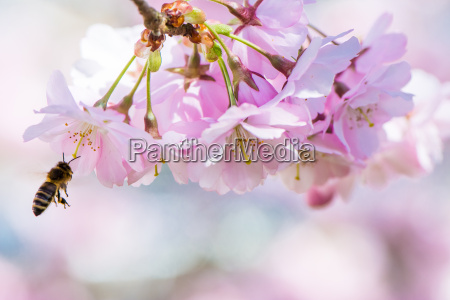 flying bee e pink cherry blossoms