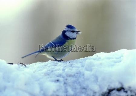 blu foraggio inverno animale uccello freddo