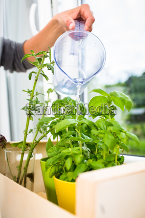 annaffiare le erbe aromatiche giovane