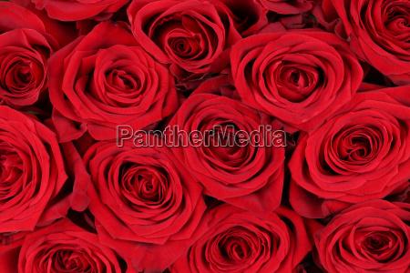 sfondo rose rosse per il giorno