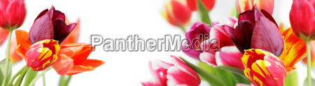 tulips against white background highres banner