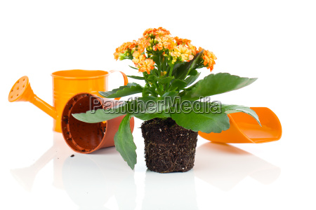 kalanchoe fiore in un verde irrigazione