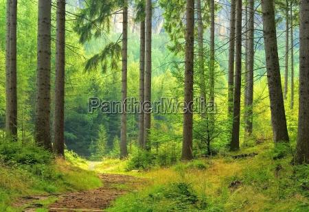 foresta luce albero abete rosso foresta