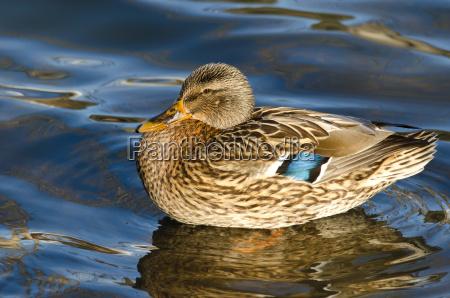 femminile anatra uccello acquatico germano reale