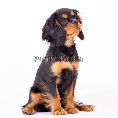 animale animale domestico quadrupede cane cucciolo