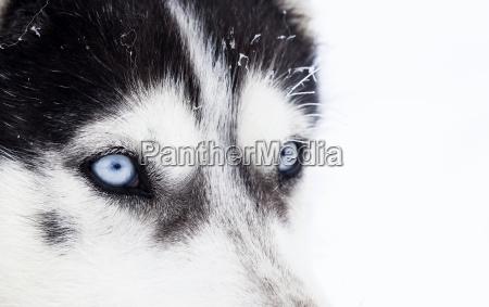 colpo ravvicinato di husky cane occhi