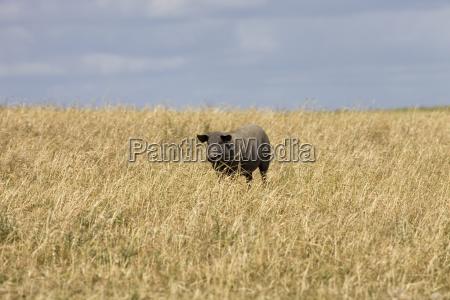 singolo enorme animale mammifero agricoltura nero