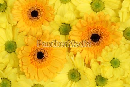 fiori crisantemi sfondo primavera o festa