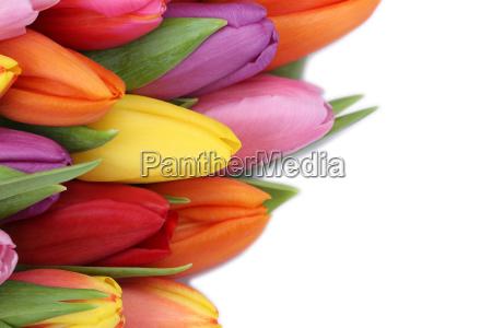 tulipani fiori in primavera o festa