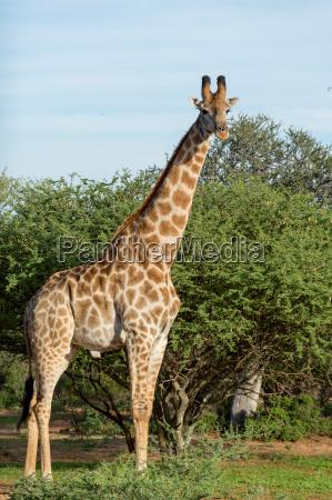 giraffa in natura