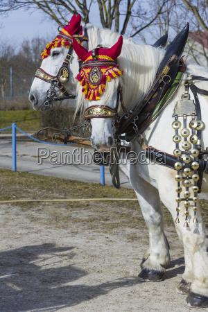cavallo traino equitazione carrozza briglia imbracatura