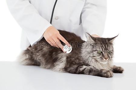 veterinario che esamina un gatto con