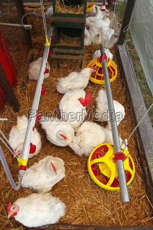 uccelli fattoria pollo gallina coltivare polli