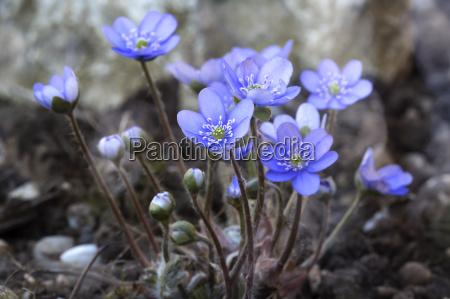 fiore di fegato epatica nobilis primo