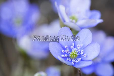 blu fiore pianta fioritura fiorire fuori