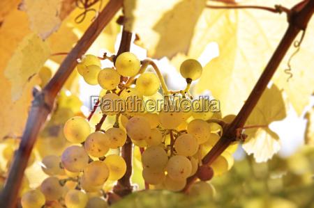 uva vigneto foglie di vite vitigni